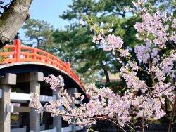 Cherry blossom blooming.jpg