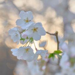Cherry Tree Blossoms-11.jpg