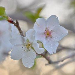 Cherry Tree Blossoms-12.jpg