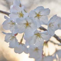 Cherry Tree Blossoms-14.jpg