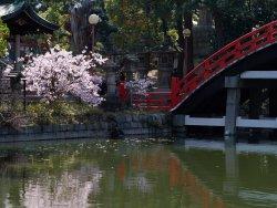 Cherry blossom blooming 2.jpg