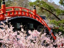 Cherry blossom blooming 3.jpg