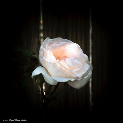White Rose Divine Light by Leica S May 2021 8x8.jpg
