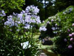 Hydrangea macrophylla 4.jpg