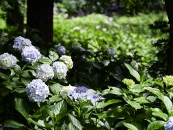 Hydrangea macrophylla 5.jpg