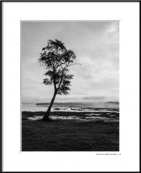 lone tree on Thompson Island.jpg