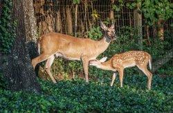 Deer in backyard small-5.jpg