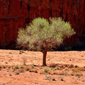 Navajo Tree