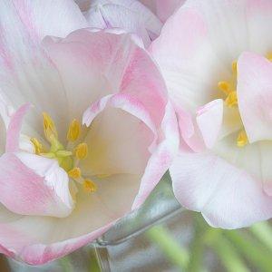 Tulips stacked.jpg