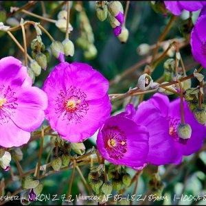 PurplePoppies.jpg