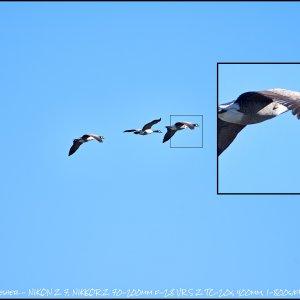 geese_ex.jpg